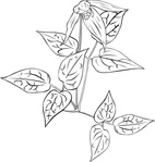 clematis,occidentalis,outline,nature,plant,flower,wild