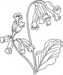 rose,outline,nature,plant,wild,flower,herb,cowslip,biology,botany,line art,season,spring,black and white,contour,media,clip art,externalsource,public domain,image,png,svg,wikimedia common,psf,wikimedia common,wikimedia common,wikimedia common