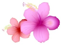 summer,flower,summerflower,nature,_nature,hibiscus,rose,pink,chicken,flower vector,animals,backgrounds & banners,buildings,celebrations & holidays,christmas,decorative & floral,design elements,fantasy,food,grunge & splatters,heraldry,free vector,icons,map,misc,mixed,music,nature