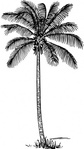 coconut,palm,nature,plant,tree,exotic,biology,botany,line art,black and white,contour,outline