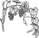 grapevine,nature,plant,vine,grape,food,fruit,biology,botany,black and white,line art,contour,outline,media,clip art,externalsource,public domain,image,png,svg,wikimedia common,psf,wikimedia common,wikimedia common,wikimedia common